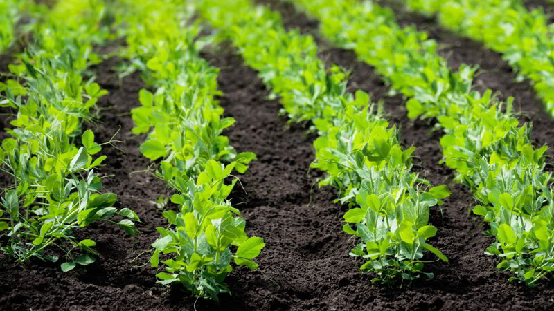 Sprouts of young pea plants grow in rows in a field in the rays of the sun.