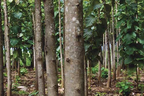 A teak plantation