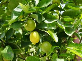 Investment In Panama Limes