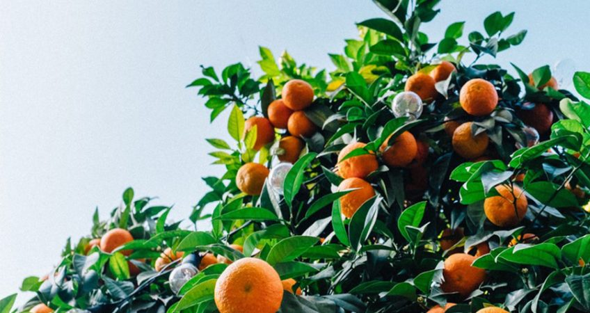 A orange tree in your own garden
