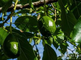 Avocado Plantation Investment