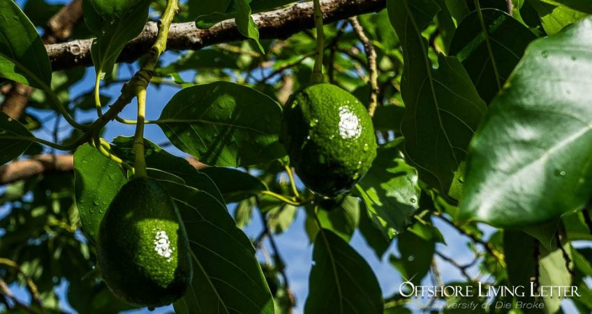 Avocado Plantation Investment
