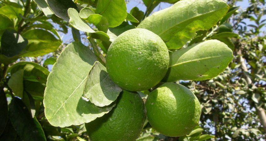 panama organic limes