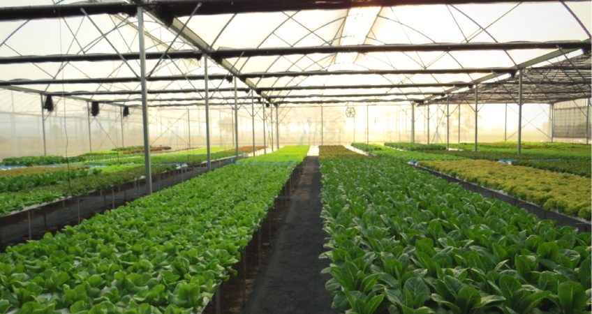 Inside an aquaponics greenhouse showing rows of produce being grown