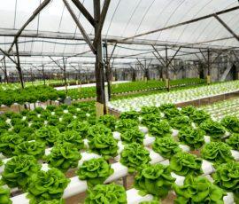 lettuce hydroponics thailand