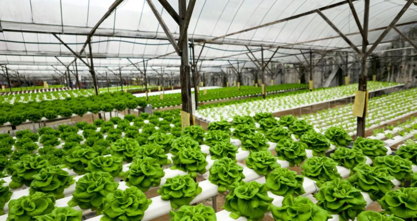 lettuce hydroponics thailand