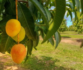 mango orchard, mango on a tree