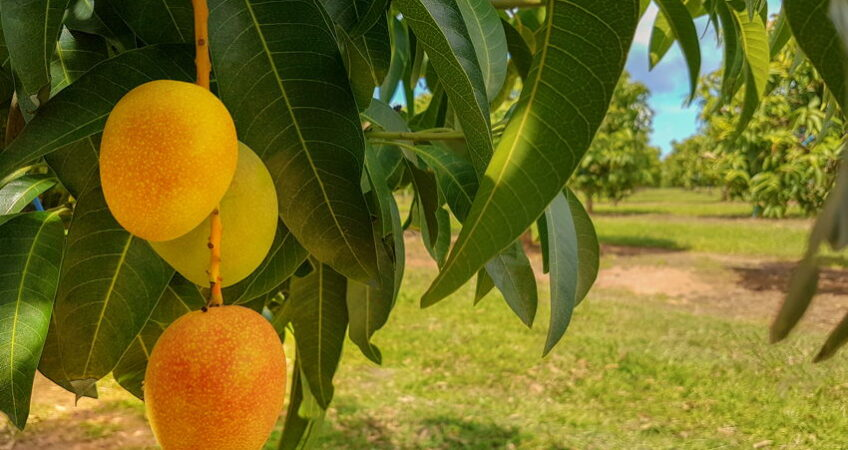 mango orchard, mango on a tree