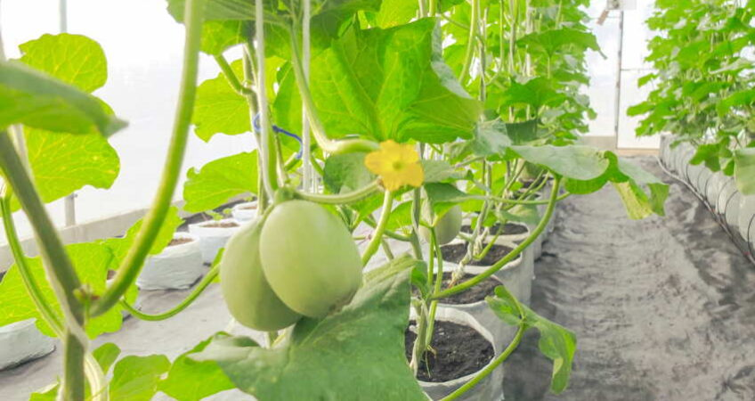 hydroponic cantalope growing