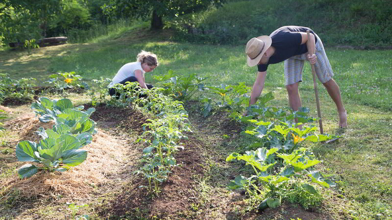 Young man and woman Working in a Home Grown Vegetable Garden.