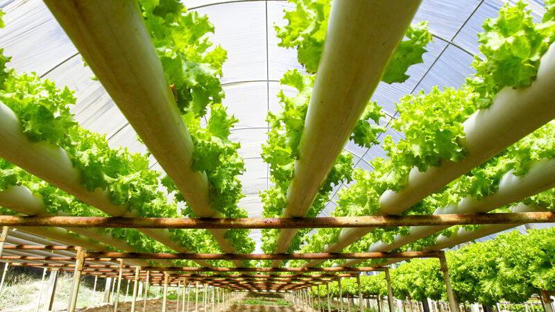Hydroponics plantation farm, lettuce.