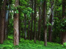 Teak trees in an agricultural forest in Kerala India.