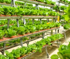 Rows of vegetables in organic vertical farming.