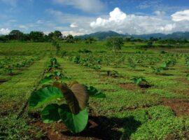 Teak plantation, Darien Rainforest, Panama.